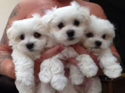 Adorable kc registered male and female maltese available for reh