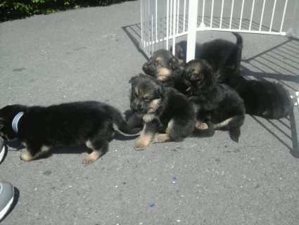 صور  MALE AND FEMALE  LEFT GERMAN SHEPARD PUPS 1