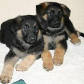 4 German Shepherd puppies available