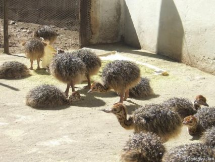 Ostrich Birds We can supply the highest quality Ostrich eggs fro