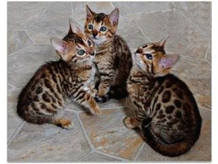 Gorgeous Bengal Kittens For Sale.