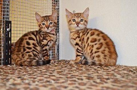 Bengel Kittens for sale