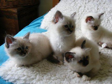 champion Birman Kittens For Sale