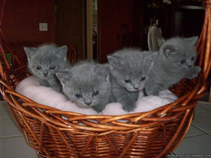 Beautiful British Kittens Available For Sale