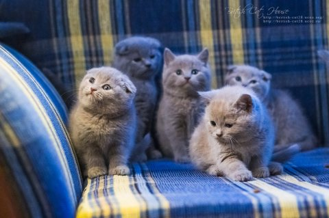 Cute British Kittens for Sale