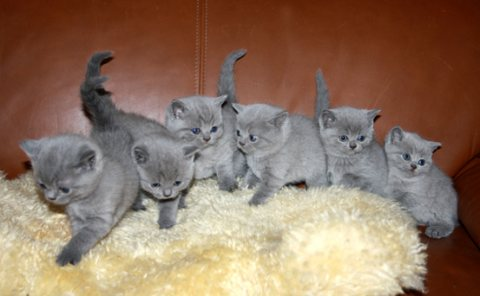 Beautiful British shorthair Kittens Available For Sale