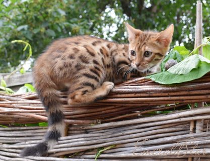 Lovely Pedigree BENGALS  kittens for sale, brown and silver