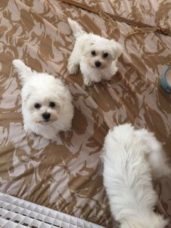 Extra quality maltese pups Ready to go now