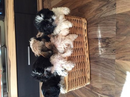 Beautiful Shih tzu puppies  ready now