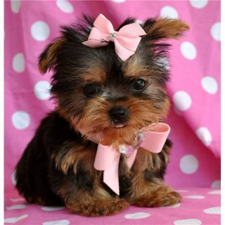 Yorkie puppies for a new home