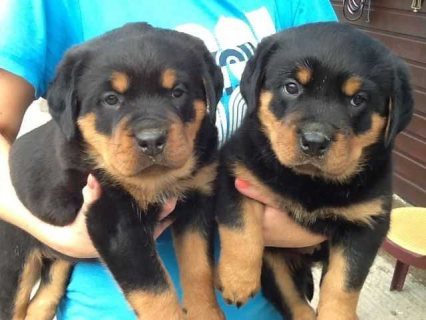صور 12 weeks old Rottweiller Puppies for Adoption 1