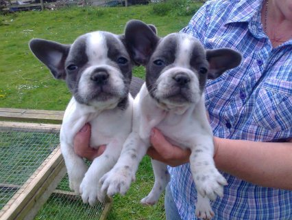 Amazing French Bulldogs Up For Sale.