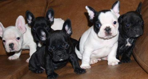 French Bulldog Stud AKC For Sale.