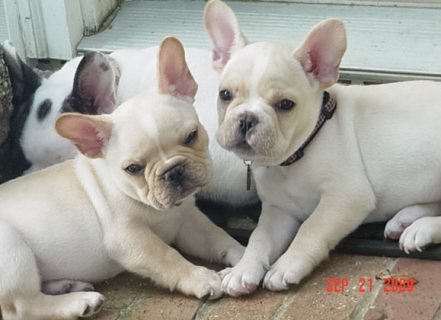 Well Trained French Bulldog Puppies For Sale.