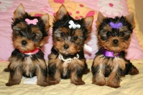 Beautiful Blue and White Pied Yorkshire Terrier Pups For Sale.
