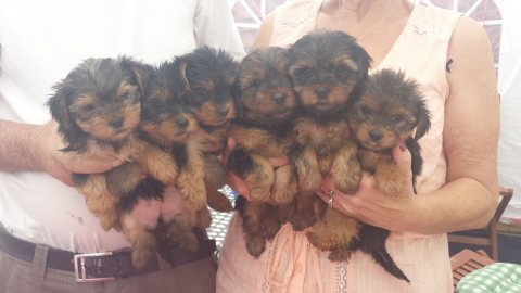 Fancy Yorkshire Terrier Available For Sale.