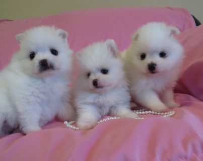 Amazing Pomeranian Puppies Up For Sale.