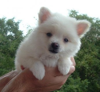 French Pomeranian Puppies Available For Sale.
