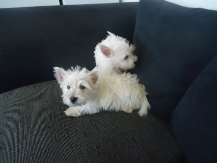 westies 11 weeks old 1 female and 1 male