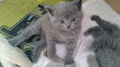 Beautiful male and female BSH Kittens ready to go