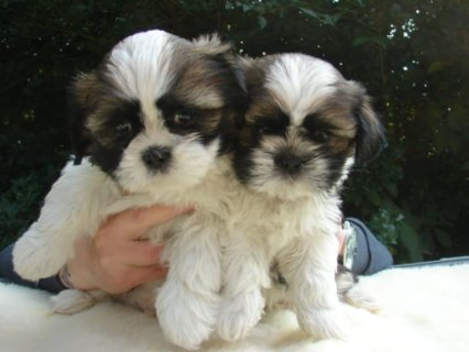 Adorable Cute Family Male and Female Shih Tzu