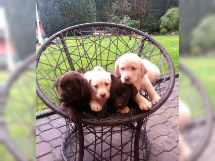 صور Labrador registered puppies raedy 1
