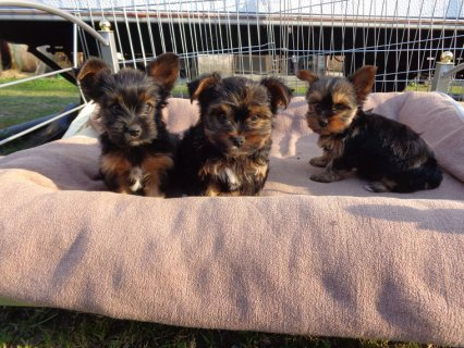 Beautiful Yorkshire puppies