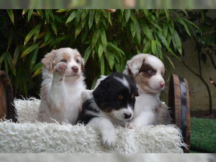 صور Australian Shepherd PUPPIES 1