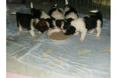 Shih-Tzu/ Chihuahua Puppies Available for Adoption