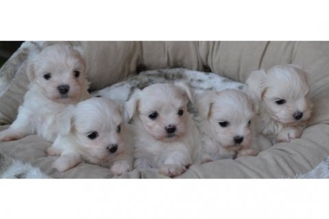 Malteses Puppies Available for Adoption