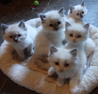 Ragdoll Kittens cute for adoption
