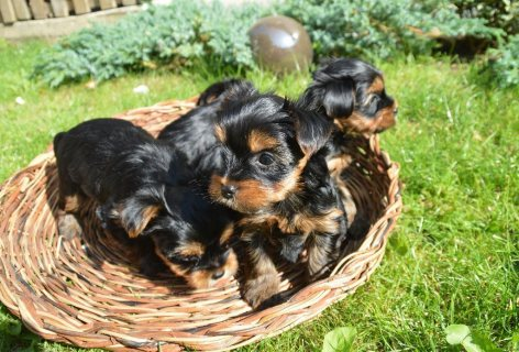 Yorkshire Terrier puppies KC reg and pedigree