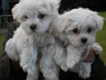 Adorable kc registered Sweet & Playful Maltese Puppies For Adopt