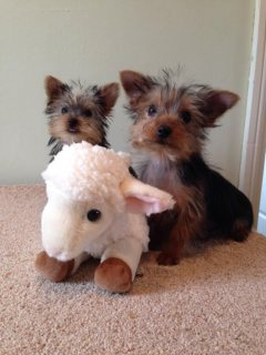 Miniature Pedigree Registered Yorkshire Puppies For Re-Homing