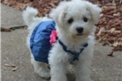 Micro Cute Bichon Frise Puppies For Adoption