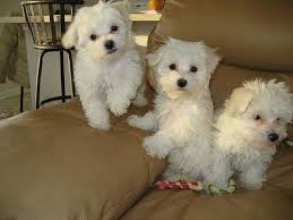 صور Priceless White maltese Puppies For Adoption 1