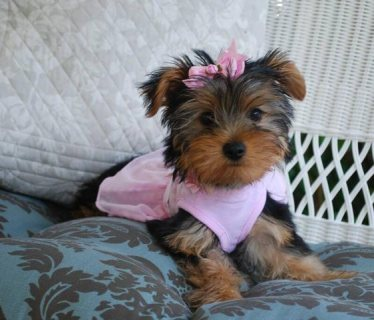 Very Tiny Teacup Yorkie Puppies Now Available