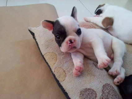 Super Adorable french  Bulldog Puppies