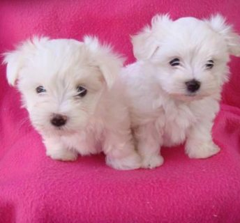 male and female Teacup Maltese Puppies Available
