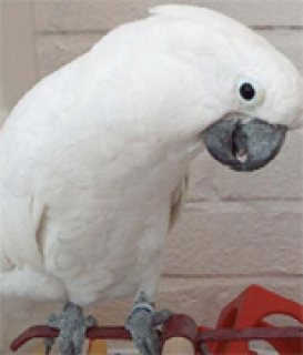 Umbrella Cockatoos For Adoption