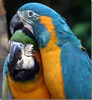 Macaw birds for sale