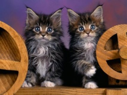 Beautiful full blooded  Maine Coon kittens.