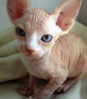 cute Bold and Wrinkly Sphynx Kittens