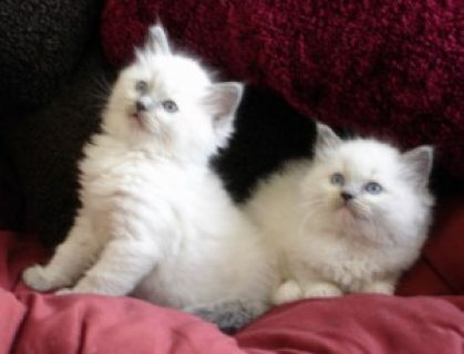 12 Weeks Old Ragdolls Kittens