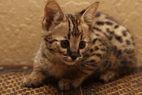 Brown And Silver Savannah Kittens