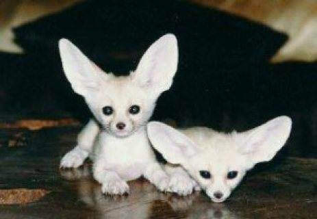 2 Sweet Fennec Fox babies available.....