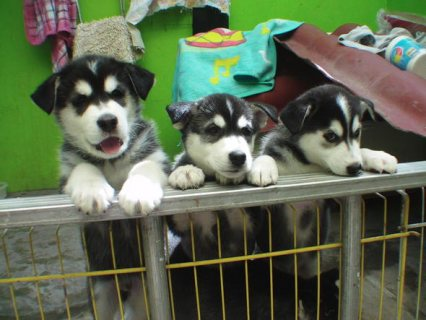 Husky for adoption eyes blue Cubs