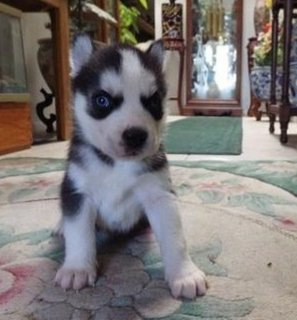 Cute and beautiful Siberian Husky Pups