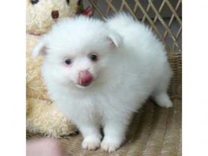 Beautiful pomeranian puppies ready to go to their new homes now