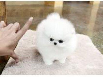 Pomeranian puppies good for adoption